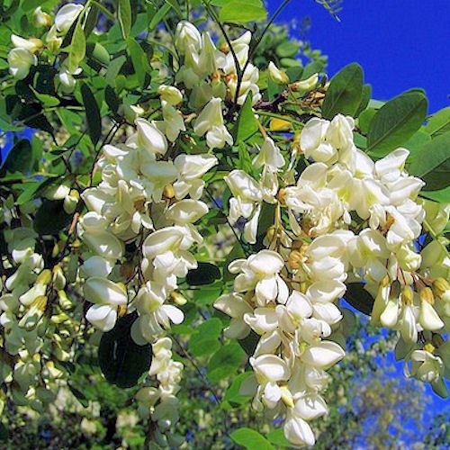 acacia ou robinia pseudacacia une fleur comestible d guster. Black Bedroom Furniture Sets. Home Design Ideas
