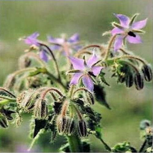 Bourrache officinale ou borago officinalis herbe aromatique - Herbe aromatique cuisine ...