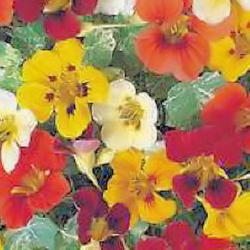 Capucine ou tropaeolum majus une fleur comestible d guster - Coloriage fleur capucine ...