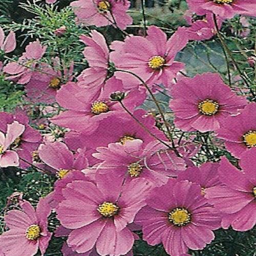 Cosmos, une fleur comestible à déguster