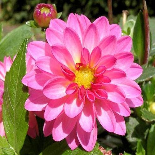 Dahlia une fleur comestible d guster - Pomme de terre germee comestible ...