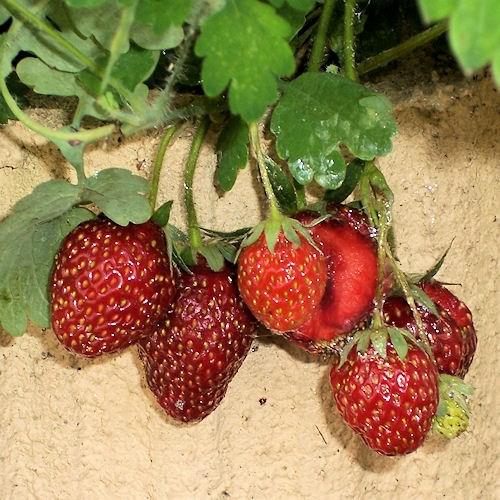Fraise ou fragaria c 39 est lire avant de le cuisiner - Quel fraisier choisir ...