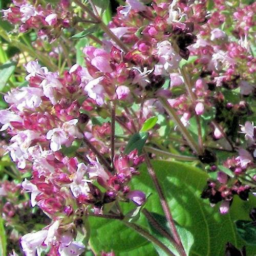 marjolaine ou origanum majorana une fleur comestible. Black Bedroom Furniture Sets. Home Design Ideas