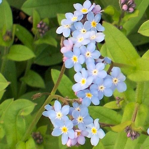 Coloriage Fleur Myosotis.Myosotis Utilisation Et Proprietes De Cette Plante Medicinale