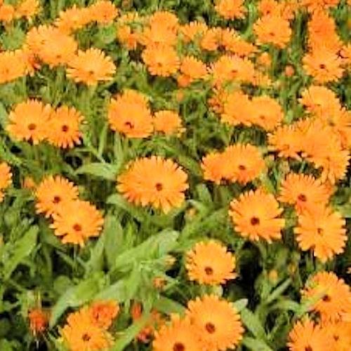 Souci Ou Calendula Officinalis Une Fleur Comestible A Deguster