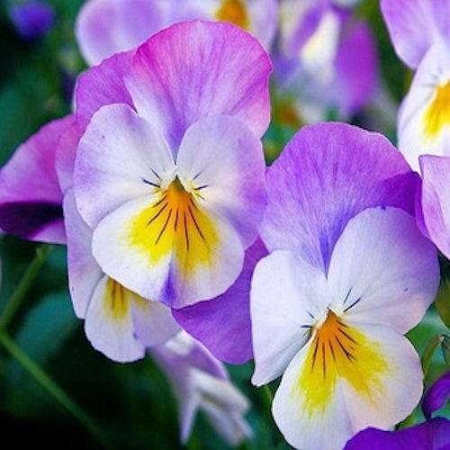 Sirop de violettes recette de sirop artisanal et naturel - Sirop de violette ...