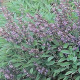 SAUGE OFFICINALE - SALVIA OFFICINALIS- HERBE AROMATIQUE